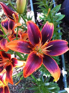 Photo of Lily (Lilium 'Starlette') uploaded by Tropical Flowers, Hawaiian Flowers, Flowers Nature, Exotic Flowers, Amazing Flowers, Beautiful Flowers, Purple Flowers, Tropical Garden, Tiger Lily Flowers
