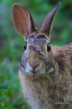 Eastern Cottontail by Denis Rivard on 500px