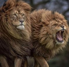 Yorkshire Wildlife Park is the UK's Walk-through Wildlife Park Adventure, with over 300 different animals! Lion Quotes, Cute Lion, Wildlife Park, Tier Fotos, Cat Facts, Nature Animals, Desert Animals, Beautiful Cats, Big Cats
