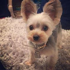 おねえちゃんのボディオイルおいしー!はやくぬりなよー。むーたんまちどおしいよ!! #east_dog_japan #ヨークシャーテリア #ヨークシャテリア #ヨーキーlove #ヨーキー #犬 #犬バカ部 #犬のいる暮らし #犬がいないと生きていけません #わんこ #dog #dogs #pet #pets #pretty #prettydog #cute #cutedog #yorky #yorkie #yorkies #yorkshire #yorkielove #yorkshireterrier #むーたん #親バカ #愛犬 #親バカ部 #ふわもこ部