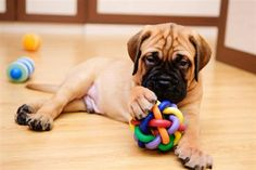 Bullmastiff: A strong, powerful dog with a natural instinct to please, the Bullmastiff is another breed well suited for families, according to the AKC.