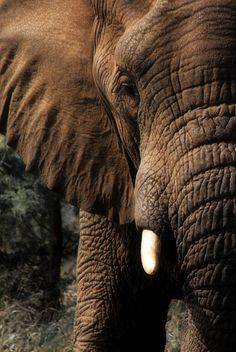 Such beautiful and majestic animals. Elephants Never Forget, Save The Elephants, Beautiful Creatures, Animals Beautiful, Cute Animals, Baby Animals, Wild Animals, Elephas Maximus, Elephant Love