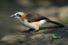 Special Birds / Bare-cheeked Babbler / Kunene River Lodge, Northern Namibia