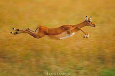 "Photo by @FransLanting // ""Animals as Athletes""  I am always amazed by the…"