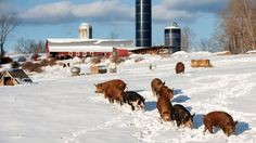 A Pasture for the Pigs-No Factory farming-Support humane farming.