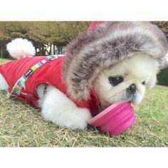 OMG! ! !  Way to adorable! #Pekingese