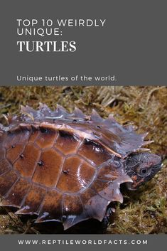 Turtles are amazing animals that carry their homes on their backs. Today we're talking about 10 of the most unique and weirdly interesting turtles we could find. Check out the article to see which ones we picked! Exotic Animals, Exotic Pets, Types Of Turtles, Turtle Reptile, Tortoises, Reptiles, Habitats, Dragons, Weird