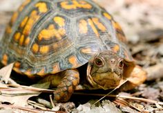10 Types of Turtles You Can Have as Pets - My Reptiles World 2019 Types Of Pet Turtles, Land Turtles, Small Turtles, Cute Turtles, Box Turtles, Tortoise As Pets, Tortoise Food, Tortoise Turtle, Tortoise Habitat