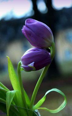 Tulipanes púrpura