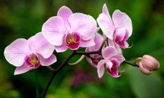 Como plantar orquídeas. As orquídeas são flores que encantam os olhos devido à sua grande variedade de cores. São plantas delicadas que exigem cuidados, mas que podem integrar a decoração de ambientes internos e mesmo perman...