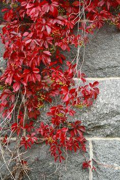 Villiviini syyskuu 2012 Buy Flowers, Shrubs, Perennials, Plants, Autumn, Fall, Trees, Gardening, Japanese