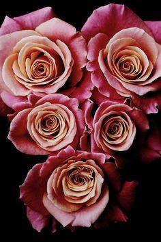 Rosa / Rose