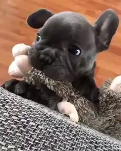 Let's play hooman!-Let's play hooman! Let's play hooman! Cute Little Animals, Cute Funny Animals, Funny Dogs, Funny Dog Videos, French Bulldog Puppies, Cute Dogs And Puppies, French Bulldogs, Doggies, French Bulldog Blue