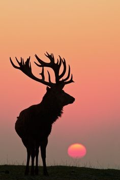 Red Deer Silhouette ~ By Richard Bowler