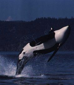 Killer whale  by Ken Balcomb Largest of the dolphins, the killer whale, or orca, feeds on fish, seals, and sometimes whales. It Is an apex predator.
