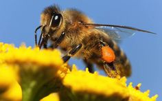 "Field tested: Neonics are really, truly bad for bees | PAN | ""A new, large-scale field study is underscoring what we know from previous research: neonicotinoid pesticides are harmful to bees. And the use of neonics as seed coatings on common crops like corn, soy and canola/rapeseed is of particular concern for both managed honey bees and native pollinators."" Click to read and share the full article."