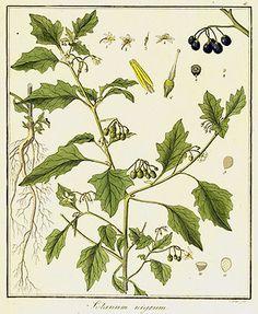 Morelle (Solanum nigrum)  Remèdes de Grand-Mère