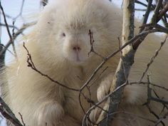 ALBINO NORTH AMERICAN PORCUPINE  killerwhales:    lmnopets:  Reblog if the albino porcupine is the weirdest animal you've seen all day.