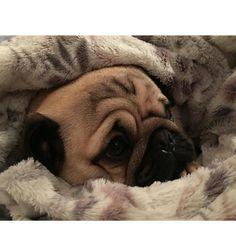 Nana said I've been such a good boy all day looking after everyone that she'd make me a cocoon!! It's the cosiest cocoon ever #purepugspp #pug #pugs #pugsofinstagram #pugbasement #pugsproud_feature #badasspugclub #bubblebeccahat #cupcake_pug #dailydoseofpugs #eddthepug #flatnosedogsociety #gilesfriends #heyportiapickme #henrys1inamillion #itslolathepug #lolasfotw #lacyandpaws #mysquishyliciousfriends #puglife #speakpug #squishyfacecrew #thetomcoteshow #zerozeropug by alfiethepug_beat