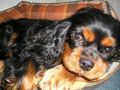 Cavalier King Charles Spaniel, omg sooo cute!  Seriously, one of the best dogs ever!  @Taylor Morgan, here's one of Popeye's babies!