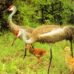 Sandhill cranes (Grus canadensis) are long legged, long necked, gray, heron-like birds with a patch of bald red skin on top of their head. Sandhill cranes occur in pastures, prairies and freshwater wetlands in peninsular Florida from the Everglades to the Okefenokee Swamp.