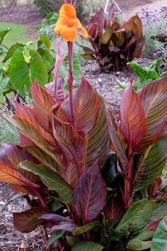 Rare Cannas Lily 1 Bulbs Fashion Flower Perennial Fragrant Yard Garden Decor Top
