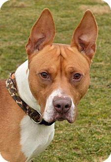 Westampton, NJ - American Staffordshire Terrier. Meet Badger  3387111, a dog for adoption. http://www.adoptapet.com/pet/17400748-westampton-new-jersey-american-staffordshire-terrier