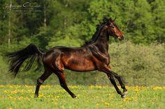 Russian Riding stallion Aglai ow. Ilya Kolbaenkov. Photo by Katarzyna Okrzesik Photography