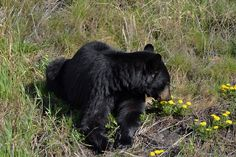 DESPITE STRAIGHT LINES posted a photo:  This photograph was taken at an altitude of Four hundred and eighty six metres, at 09:21pm on Wednesday 11th May 2016 between Prophet River and Muskwa off Alaska Highway route 97 in Northern British Columbia, Canada.  This is an adult American Black Bear (Ursus Americanus), a medium sized bear native to North America, and found in abundance in the Yukon territory and Alaska. Black bears have a small tail, up to nine inches long foot length and males…