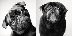 Nederlands Portugês FRED - 2 years - 10 years This cute photos of Amanda Jones from her book ' Dog Years ' prove that als. Amanda Jones, Dog Ages, Dog Years, Mundo Animal, Pug Love, Old Dogs, Dog Show, Dog Photography, Dog Portraits
