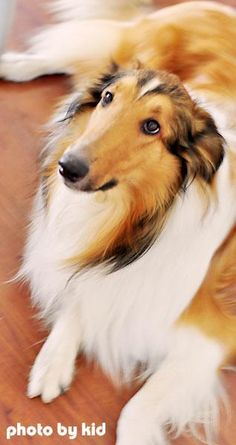rough collie - Dad called the first one Prince and the second one was Laddie Puppy Dog Dogs Puppies
