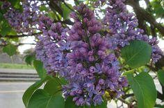 Jorgovan, Lilac, ukrasno drvo