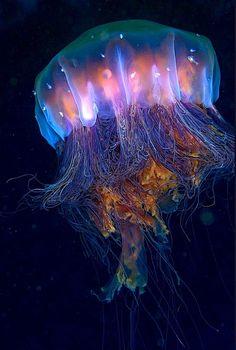 Lion's Mane Jellyfish (Cyanea capillata) by Dan Hershman