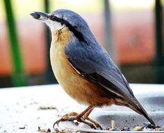 Oiseaux de mon Jardins