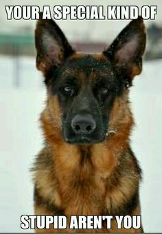 Don't mess with a GSD!