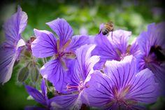 purple hardy geraniums with bee