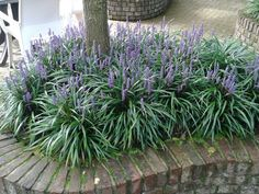 Liriope Outside Plants, Porch Decorating, Garden Paths, Outdoor Spaces, Yard, Colours, Landscape, Outdoors, Gardening