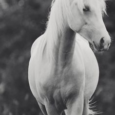 Equine Photography  Print  Black and white horse photo by Attlid,