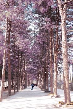 Nami Island, South Korea (Looks like a very romantic place :D! )  pernah untuk syuting Drama Korea diantaranya That Winter The Win Blows dan Winter Sonata :)