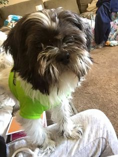 >> Enfield, CT - Lost Black & White Shih-tzu.  Aloha Drive, off of Washington.  His name is Louie. He ran away last 4/30 and is STILL missing. Be on the lookout.  Help Find Louie: https://www.facebook.com/Helpmefindlouie  Please call (860) 268-2494  Contact: https://www.facebook.com/photo.php?fbid=1580332778889421&set=o.513849385403608