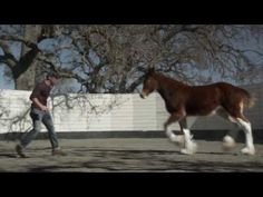 Budweiser Clydesdales Horse Super Bowl Commercial 2013                                                                                                                                                     More