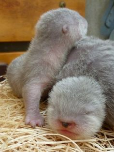 Baby otters......im going to stay in my room and cry for a while now.