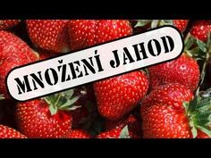 Flora, Strawberry, Gardening, How To Plan, Fruit, Youtube, Lawn And Garden, The Fruit, Plants