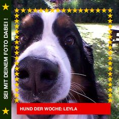 Basset Leyla Los, komm doch noch näher `ran mit der Kamera!  #Hund: Leyla / Rasse: #Basset      Mehr Fotos: https://magazin.dogs-2-love.com/hund-der-woche/basset-leyla/ Foto, Hund, Nase, Natur