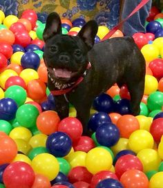French Bulldog in the Ball Pit❤️
