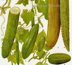 Cucumber Plant Flowers Food Chart Vegetable Botanical Lithograph Illustration For Your Vintage Kitchen 117