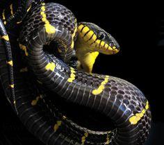Gold-Ringed Cat Snake (Boiga dendrophila)