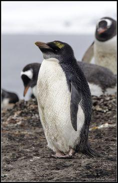 Macaroni Penguin, Antarctica, Penguins, Island, Penguin, Islands