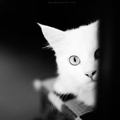 ...white cat... by OlegBreslavtsev.deviantart.com on @deviantART