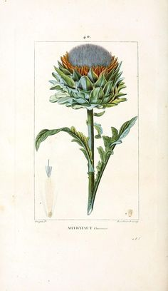 vintage botanical illustrations | Flore médicale (1833). Scan of 2 d images in the public domain ...